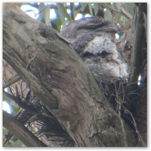 Tawny Frogmouth - adult and chick