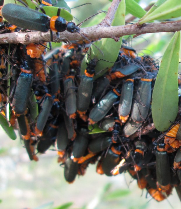 plague soldier beetles