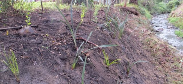 creekbank stabilisation planting