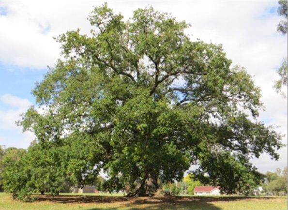 ole oak tree