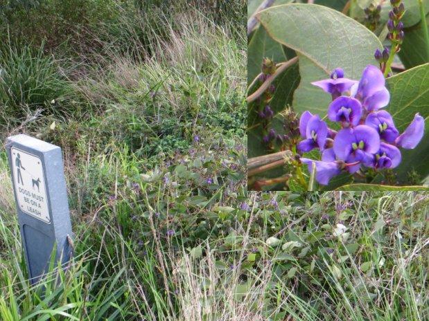Hardenbergia violacea - kalang
