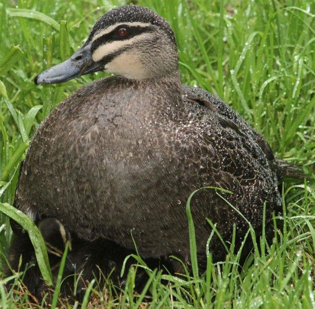 mother duck