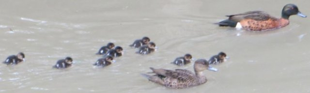 chestnut teal chicks and parents