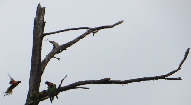 lorikeets and stag