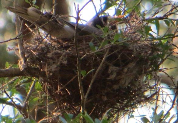 noisy miner on nest