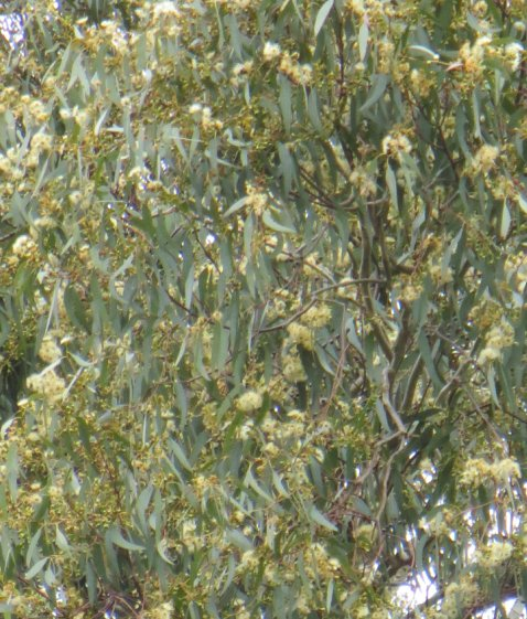 yellow box blossom