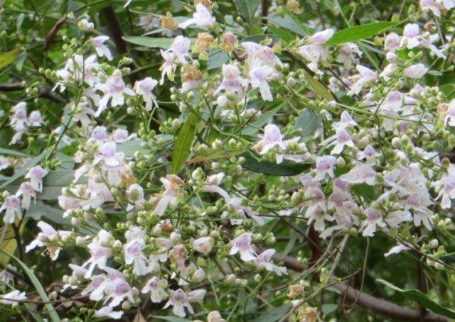 Christmas Bush Flowers-Kalang Park