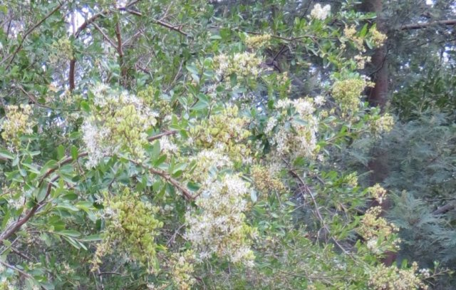 Bursaria in flower - Furness Park