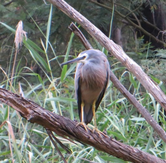 Nankeen Night Heron - Waratah Wetlands - Watch out frogs!