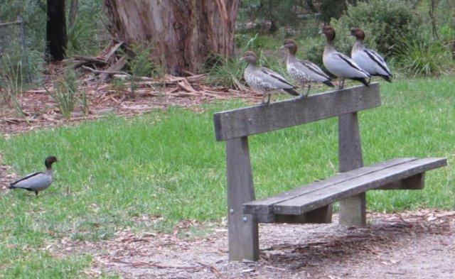 Lining up the ducks - Kalang Park