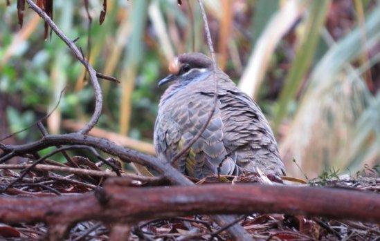 2015 Autumn Bird Survey - Bronzewing