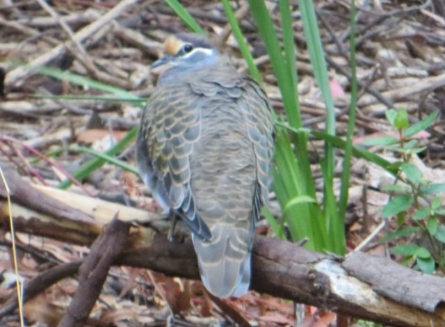 Coy Common Bronzewing ' Kalang Park
