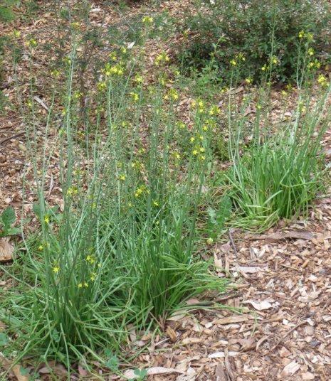 bulbine lilies