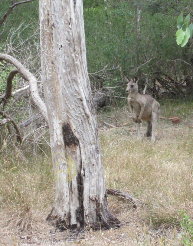 kangaroo - Furness Park