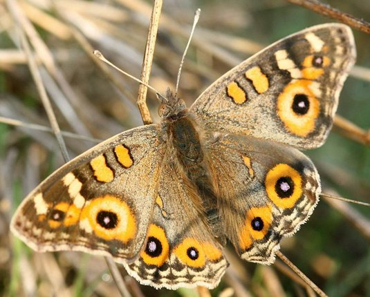 Meadow Argus butterfly (courtesy Ian Moodie)