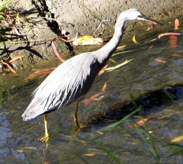 white-faced heron in barrelled part of creek