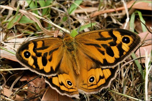 Common Brown - Photo courtesy Ian Moodie