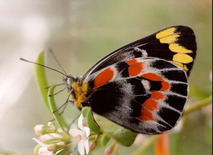 butterfly - Imperial Jezebel