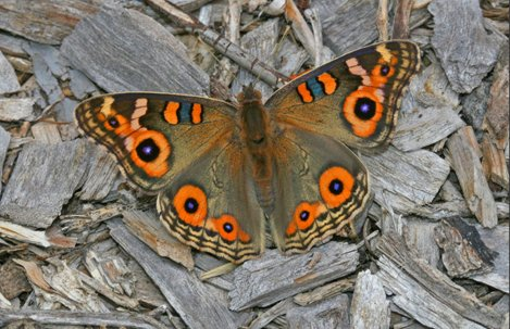 butterfly - Meadow Argus