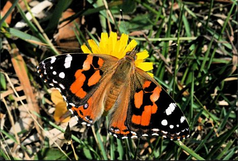 butterfly - painted lady