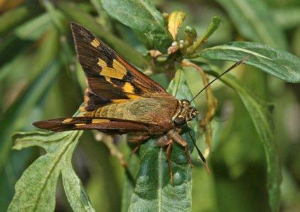 butterfly - Symmomus Skipper