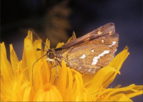 butterfly - white grass dart