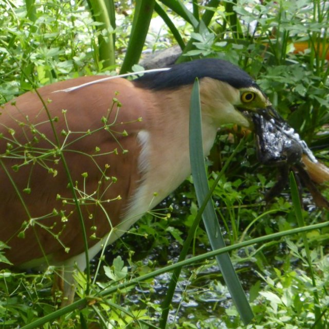 nankeen night heron and frog