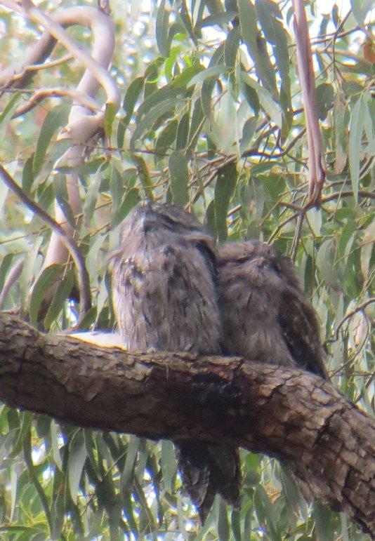 cuddlesome tawnies