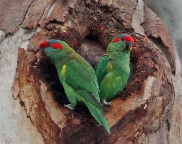 Musk Lorikeets in Hollow, Kalang Park – Courtesy Ian Moodie