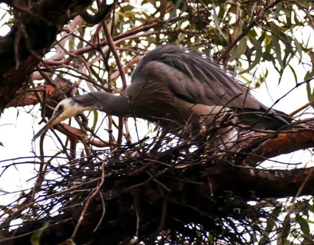 heron nest building started