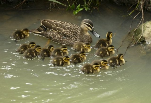 first ducklings 2016