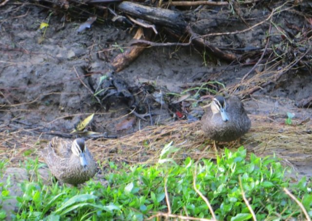 black-ducks-kalang-park