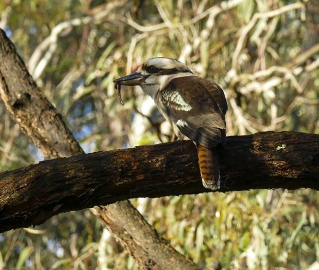 kookaburra-from-ruth