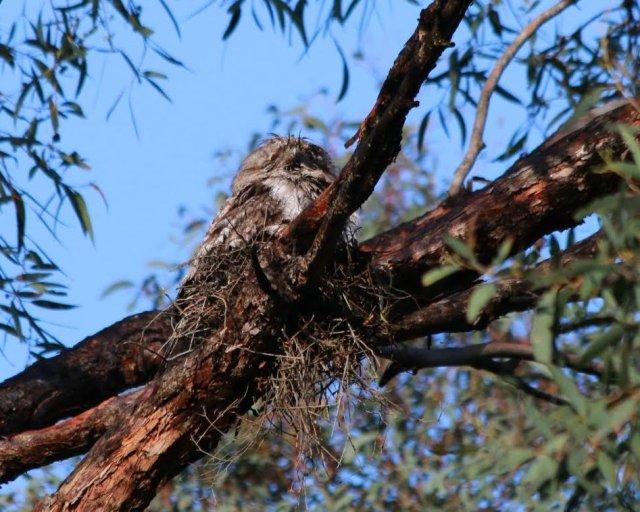 tawny-on-nest