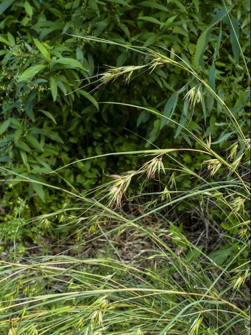 kangaroo-grass