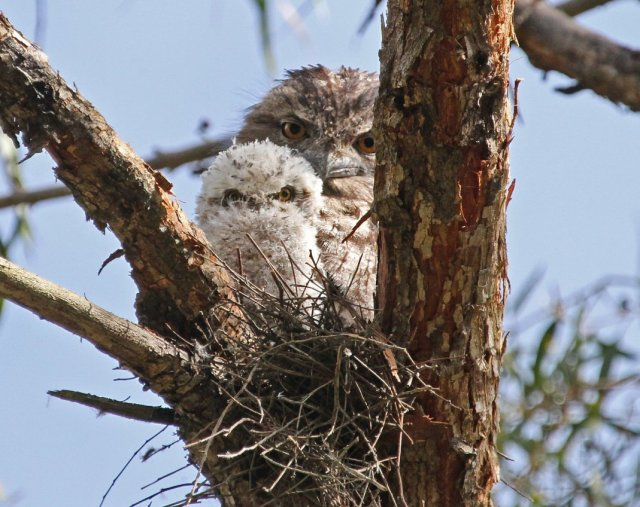 tawny-and-chick