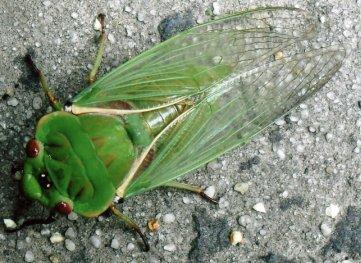greengrocer-cicada