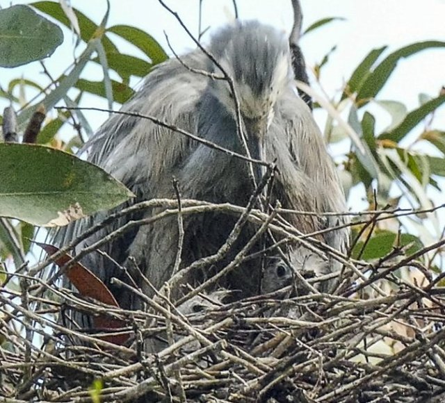 white-faced heron and chicks