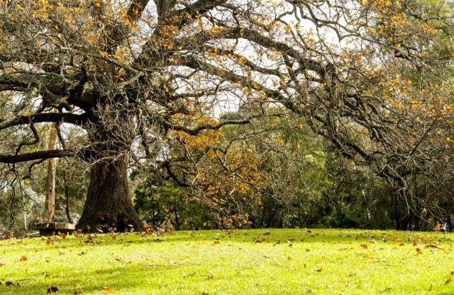 old oak in winter
